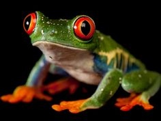 Red-Eyed Tree Frog - Joel Sartore's Photo Ark - Pictures - CBS News