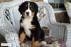 Bernese Mountain Dog Puppy for Sale in Ohio