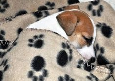 Adorable Sleeping Jack Russell Puppy