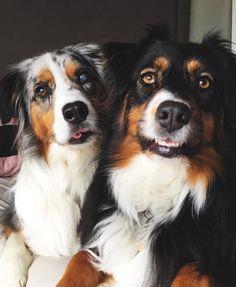 Blue Merle & Tri Aussie