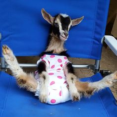 Funny Goat doing the Splits - If this doesn't make your morning, I don't know that anything will!