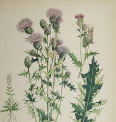 Canada Thistle Vintage 1923 Botanical Flower Print Lavender. $10.00, via Etsy.