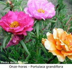 Onze-horas (Portulaca grandiflora)