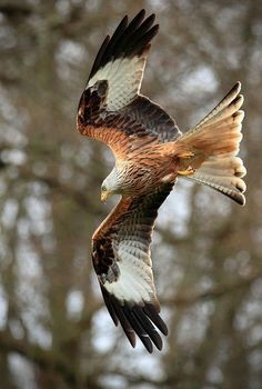 Birds of Prey - Raptor - Red Kite. Pretty Birds, Love Birds, Beautiful Birds, Animals Beautiful, Milan Vogel, Red Kite, Kinds Of Birds, Mundo Animal, Big Bird