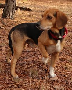 Spiegler /Beagle/ Mixed::Male::Adult::Medium |Unconditional Love Pet Rescue | 13 Stoppel Road, Eureka Springs, AR 72632  Contact Us:Phone: (870) 577-3744 | Email:diane@ulpr.org