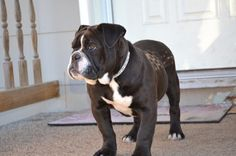 Olde English Bulldogge. How can you not love this face?! Black and white version of our Rouxfus