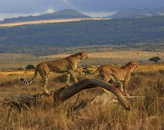 Brother Cheetahs in Kenya. Have your own awesome animal photo? Upload it to http://www.cntraveler.com/dreamtrip and be entered to win a $25k trip of a lifetime.