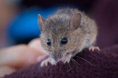 Harvest Mice as Pets