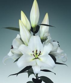 White Proud  110cm