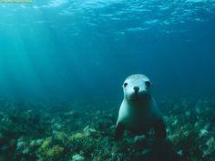 under water background Sea Lion underwater wallpaper Stop
