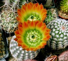 Pin by Plants Bank on Best Cactus and Succulents Unusual Flowers, Unusual Plants, Exotic Plants, Cool Plants, Amazing Flowers, Nature Plants, Succulent Gardening, Succulent Terrarium, Cacti And Succulents
