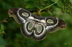 Epiphora mythimnia is a moth which flies from the South to Central Africa. This beauty belongs to the Saturnid family.