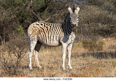 Pale-rumped zebra (Equus quagga) with broken stripes, at Mokala National Park, South Africa - photo by  Ann and Steve Toon, via Alamy / Stock Image