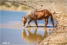 Fabulous Looking Wild Palomino Mustang Taking a Drink. Horse Pictures, Animal Pictures, Horse Photos, Chestnut Horse, Wild Spirit, Wild Mustangs, Palomino, Wild Horses, Zebras
