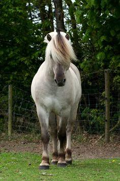 Noorweeg's Fjord paard