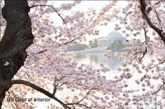 Perfect Timing! Cherry Blossoms peak bloom in Washington this weekend « Just In Weather