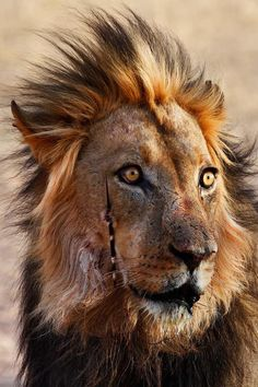 Beauty of a lion has been porcupine hunting fortunately the damage doesn't seem to big Great shot from 📸 Marco Nagel Wild Animals Photos, Animals And Pets, Funny Animals, Cute Animals, Feral Pig, Canis Lupus, Lion Photography, All Nature, African Animals
