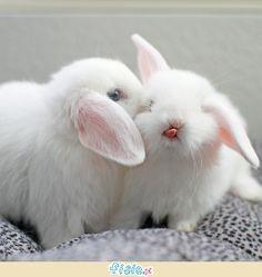 Netherland Dwarf Rabbit _ the smallest rabbit in the world - Gloria Love Pets Cute Baby Bunnies, Funny Bunnies, Cute Babies, Snow Bunnies, Animal Pictures, Cute Pictures, Dwarf Rabbit, Fluffy Bunny, Tier Fotos