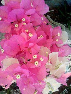 Η δίχρωμη βουκαμβίλια μου.Τα αληθινά λουλούδια της βουκαμβίλιας είναι τα μικρά εκρού που βλέπετε.Τα απ'έξω πέταλα που βλέπετε,ονομάζονται βάκχια και είναι οι προστάτες του λουλουδιού. https://gr.pinterest.com/maravelip/%