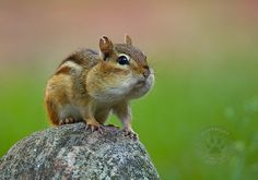 Most viewed | Puffy cheeked Chipmunk - Nature Photography | Fine art prints | macro | landscapes