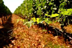 Vinho Turco: Da Anatolia ao Mar Egeu em 8 fatos e 2 taças | Vinhos de Hoje
