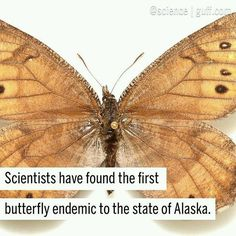 With @science  Looks like scientists may have discovered the first new butterfly in Alaska in 28 years! Oeneis tanana otherwise known as the Tanana Arctic is considered the only butterfly that is endemic to Alaska. Previously mistaken for a Chryxus Arctic butterfly O. tanana was correctly identified by Andrew Warren a butterfly expert at the University of Florida in Gainesville when he noticed that the color on the wings wasnt quite right. After some DNA sequencing researchers realized that…