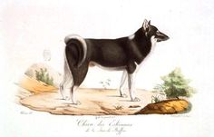ALASKAN HUSKIE  Vintage French Animal illustrations; engraving, color. Illustrations de Histoire naturelle des mammifères. Cuvier; illustrated by Wermer. 1819.