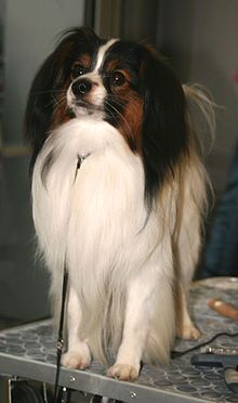 Phalene - France. This breed is the drop-eared version of the Papillon