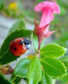 Ladybug on leaf of pink flower