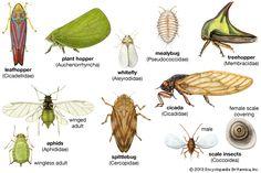 homopteran | insect order | Britannica.com