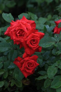 Üdvözöljük a virágzó rózsák! Most Beautiful Gardens, Beautiful Roses, Red Rose Flower, Red Roses, Classy Wallpaper, Black Rock, Lip Art, Flowers Nature, Great Artists