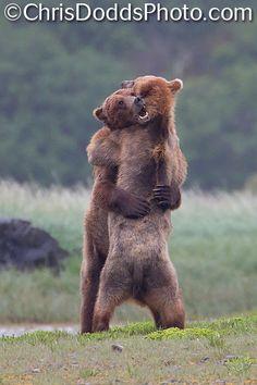 Coastal Brown Bear (Ursus arctos) fight-wrestling by Christopher Dodds