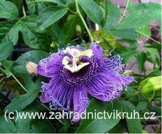 Mučenka BLUE QUEEN - Trópy + subtrópy | Subtropické záhradníctvo KRUH Queen, Plants, Blue, Show Queen, Flora, Plant