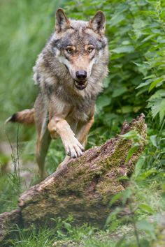 ☀Europäischer Wolf by Niklas* Wolf Love, Gray Wolf, Beautiful Creatures, Animals Beautiful, Cute Animals, Wolf Spirit, My Spirit Animal, Wolf Hybrid, Cutest Animals