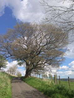 I love this big old oak tree on the lane leading down to my cottage #northumberland