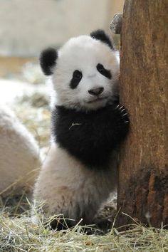 Panda baby Fu Bao from the Zoo Vienna -- Tree hugger panda :)