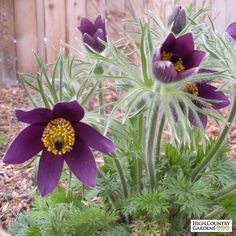 Pulsatilla vulgaris (Pasque flower) has dazzling blue-purple flowers and light-catching, fuzzy seed heads that make this European wildflower a delight in the garden. An early spring bloomer, its huge provide essential early season nectar for honeybees. Flower Pots, Plants, Blue And Purple Flowers, Planting Flowers, Rockery Garden, Purple Flowers, Flowers, Flower Pot Design, High Country Gardens