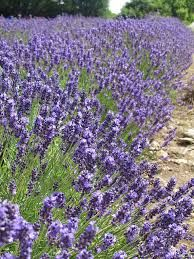 Lavender fields in Prince Edward County, Ontario