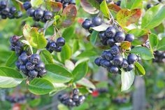 Aronia - a great permaculture plant. See how I use it in this delicious cocktail.