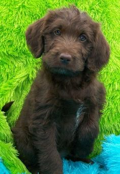 I want one so bad Labradoodle