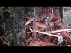 Amazing Dangerous Fastest Chainsaw Skills Tree Felling, Heavy Biggest Cutting Down Tree Machines - YouTube Tampa Bay Florida, Tree Felling, Primitive Technology, Big Tree, Sculpture, Old Wood, Chainsaw, Adult Bibs, Amazing