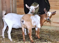 Provides a list of items that someone starting out with goats should have on hand, and has pictures of the new Dwarf Nigerian goats eating and playing.