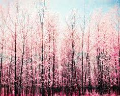 trees exploding with pink spring blossoms