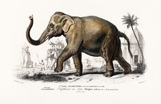 Asiatic elephant (Elephas maximus) indicus illustrated by Charles Dessalines D' Orbigny Digitally enhanced from our own 1892 edition of Dictionnaire Universel D'histoire Naturelle. Vintage Elephant, Elephant Trunk, Elephant Ears, Elephas Maximus, Elephant Illustration, Brain Illustration, Elephant Poster, Vintage Art Prints, Vintage Paintings