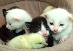 cute kittens and chicks getting along