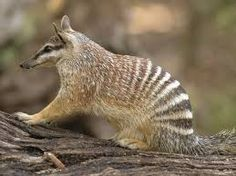 Numbat - lives in: tiny parts of southern Australia. eats: termites and occasionally ants and other small insects.  length: 14 and 18 in. marsupial. Endangered.