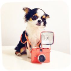 Chihuahua doing some lomography with Diana mini