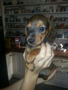Puppy Harry Dachshund Puppies, Weiner Dogs, Miniature Dachshunds, Bloodhound, I Cant Even, Puppy Pictures, Adorable Animals, Puppy Love, Fur Babies