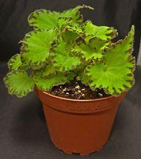 begonia Rex Jive plant in 4 inch pot