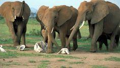Grupo de elefantes acarician los restos de su hermano muerto :(